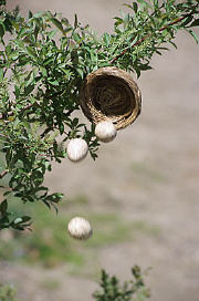 Eggs falling out of nest in tree branch uid 1180681